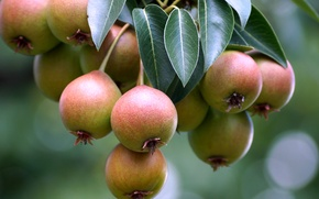 Картинка макро, дерево, плоды, груши