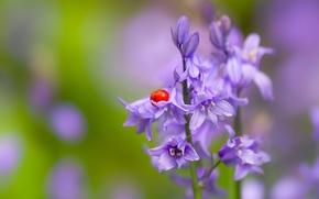 Картинка цветок, макро, божья коровка, жук, насекомое, колокольчики, боке