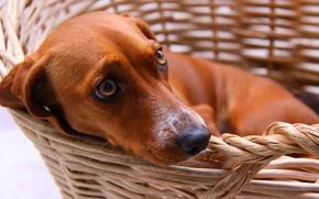 Картинка друг, корзина, собака