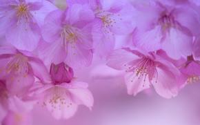 Обои цветки, макро, лепестки, сакура, вишня, цветение, весна