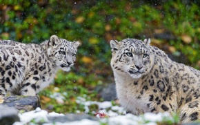 Картинка хищник, снежный барс, котёнок, snow leopard, семья, пара, ирбис, мать