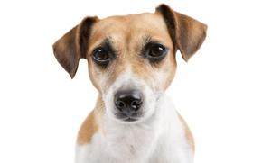 Картинка взгляд, морда, собака, пёс, джек рассел