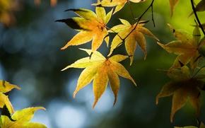 Картинка листья, ветки, блики, дерево, японский клен