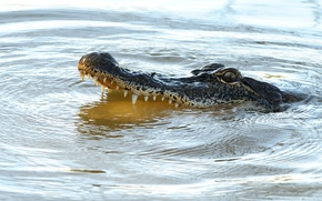 Картинка predator, reptile, alligator, teeth