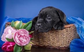 Картинка цветы, корзина, щенок, кане-корсо