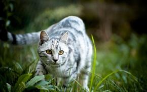 Обои мордочка, глаза, фон, природа, трава, обои, кот