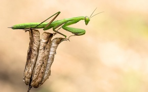 Обои vegetation, claws, horse-of-god, Mantodea order Dictyoptera, dry flower, serrated claws, paws, details, Mantis, flower, green, ...