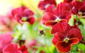 Картинка макро, цветы, анютины глазки, виола