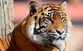 Картинка усы, тигр, полоски, морда, смотрит