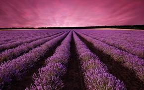 Картинка природа, flowering, lavender field, лавандовое поле, sunset, цветение, закат, nature, пейзаж, landscape
