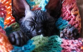 Картинка кот, котенок, сфинксы, лысый котенок, лысый кот, сфинкс котенок