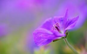 Картинка цветок, макро, сиреневый, фокус, лепестки, Герань, журавельник