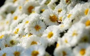 Картинка цветы, пчела, насекомое, белые, хризантемы, много