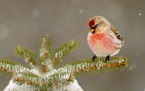 Картинка зима, снег, иголки, природа, птица, елка, клюв
