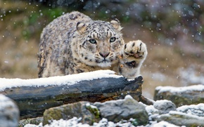 Картинка зима, взгляд, снег, кошки, камни, лапа, снежный барс, бревно, барс, дикие кошки, снегопад, зоопарк