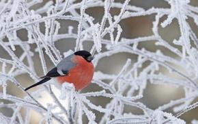 Картинка зима, иней, снег, ветки, птица, снегирь