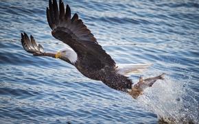 Картинка хищник, крылья, рыбалка, брызги, добыча, вода, полет, белоголовый орлан, птица, рыба, река
