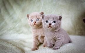 Картинка котята, серые, два, голубоглазые