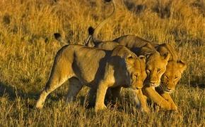 Обои Кения, лев, Африка, Masai Mara National Reserve, львицы