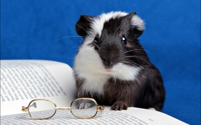 Картинка очки, книга, морская свинка