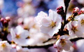 Обои цветы, яблоня, небо, весна, деревья, ветки, белые