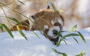 Обои красная панда, firefox, ветка, бамбук