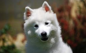 Обои мордашка, милый, хорошенький, белый, природа, фон, щенок, размытый, взгляд, портрет, собака