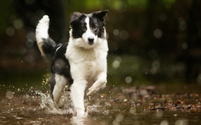 Картинка вода, собака, bordercollie