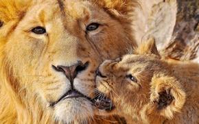 Картинка лев, укус, двое, львёнок