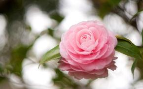 Картинка цветок, листья, капли, отражение, розовый, лепестки, камелия