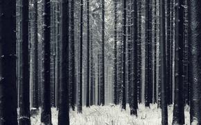 Обои деревья, снег, лес, зима