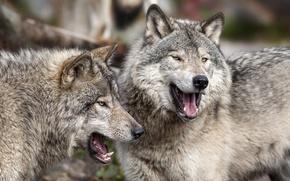 Обои хищники, волки, парочка