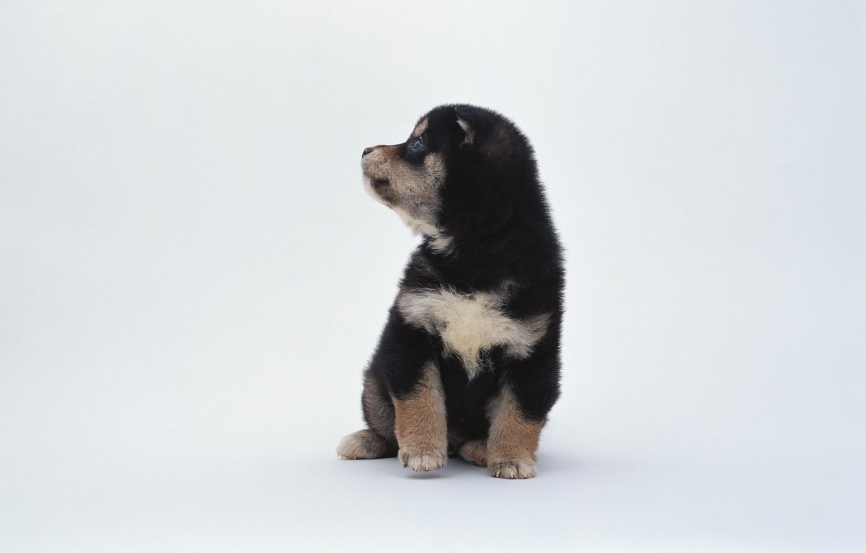 Фото обои животные, черно-белый, пятна, щенок, белый фон, собачка