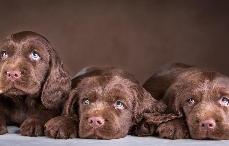 Обои спаниель, шоколадный, щенки. Собаки foto 7