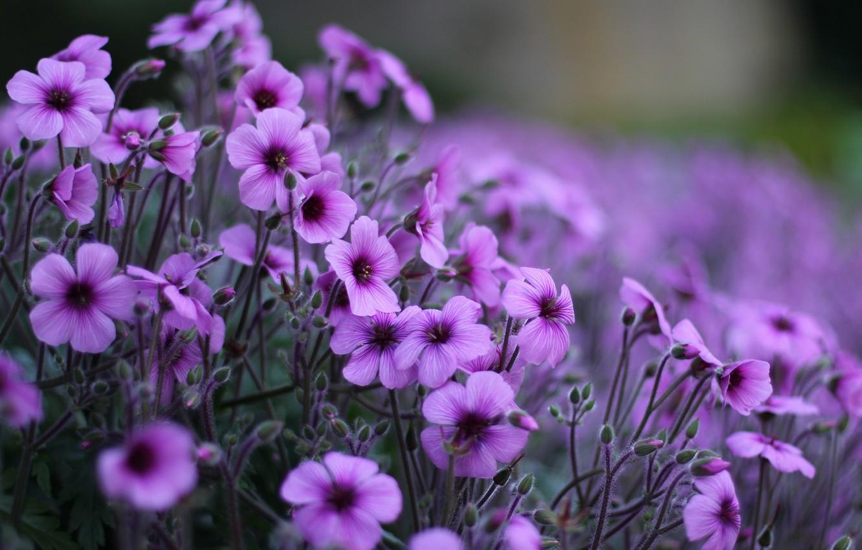 Фото обои макро, цветы, поляна, лепестки, размытость, сиреневые, Герань, кислицы