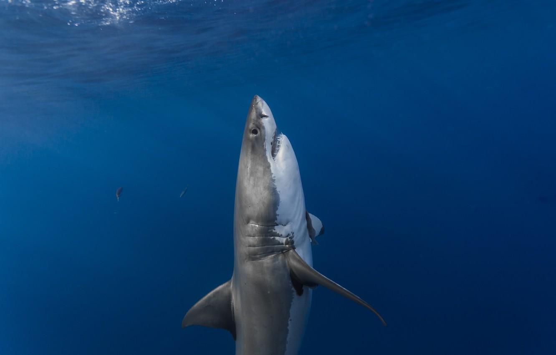 Фото обои поверхность, хищник, акула, засада, вертикальные, predator, shark, солнечный свет, белая акула, sunlight, ambush, surface, white …
