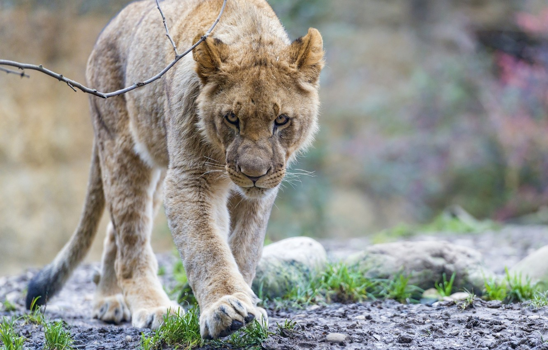 Фото обои морда, хищник, лев, прогулка, дикая кошка, молодой