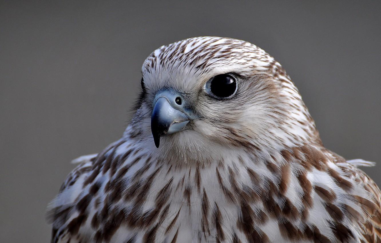Фото обои взгляд, серый, фон, птица, портрет, Сокол