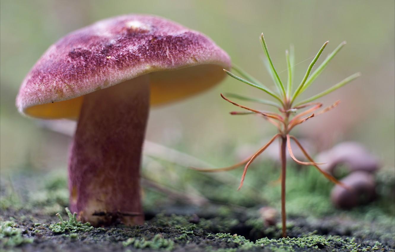 Фото обои природа, гриб, растение, мох