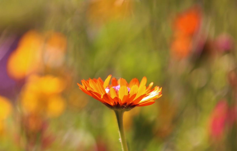 Фото обои поле, цветок, макро, фокус, размытость, Оранжевый