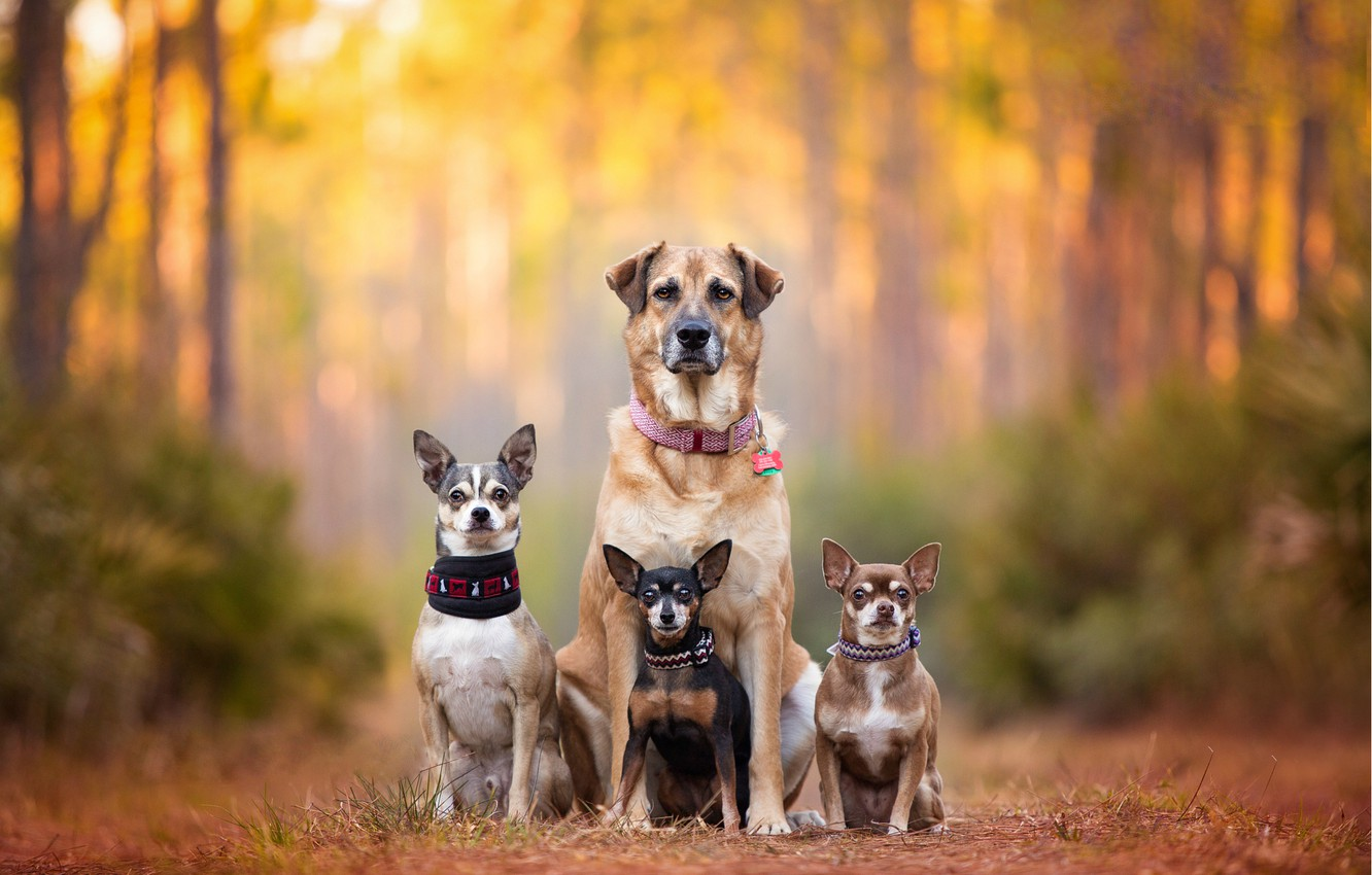 Фото обои собаки, семья, bokeh, пинчер, Чихуахуа, chihuahua, dog family, dog breath, Kaylee Greer, cute dogs
