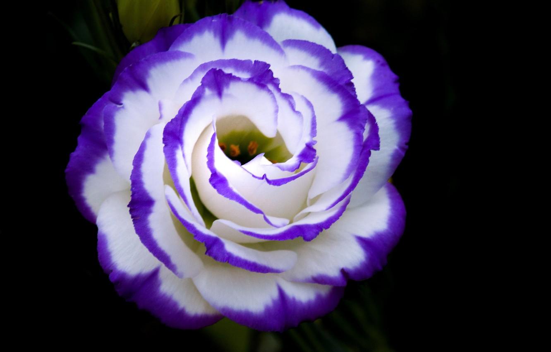 Фото обои цветок, краски, лепестки, бутон