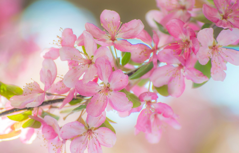 Картинки на телефон цветы яблони