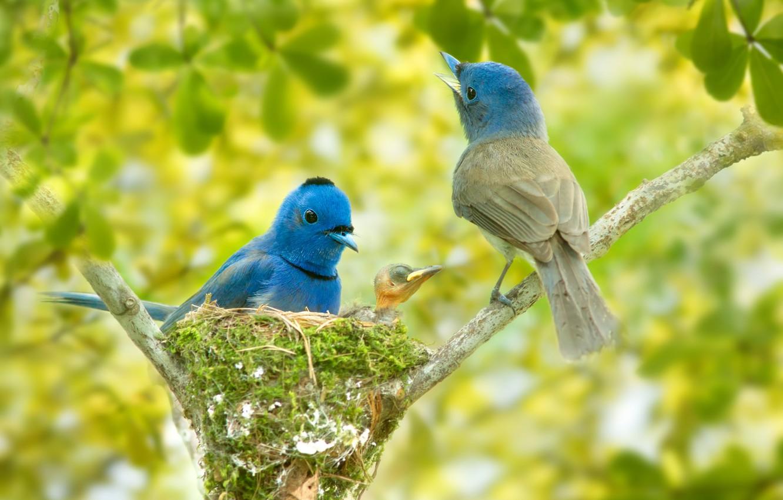 Фото обои птицы, ветки, гнездо, птенец, боке, Синий монарх, Black-naped monarch