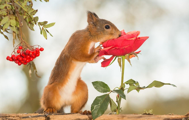 Фото обои цветок, ягоды, дерево, животное, роза, белка, рябина, грызун