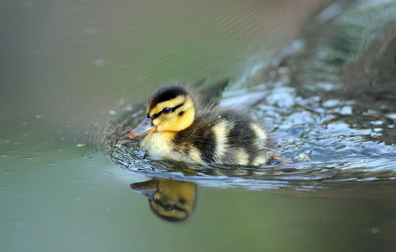 Фото обои утёнок, плывёт, ducklings
