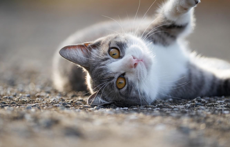 Фото обои взгляд, мордочка, котейка