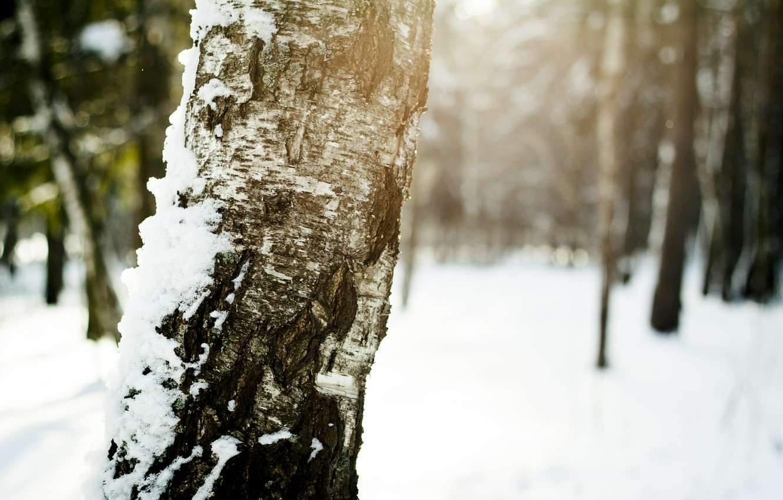 Фото обои зима, солнце, снег, Дерево, береза, кора