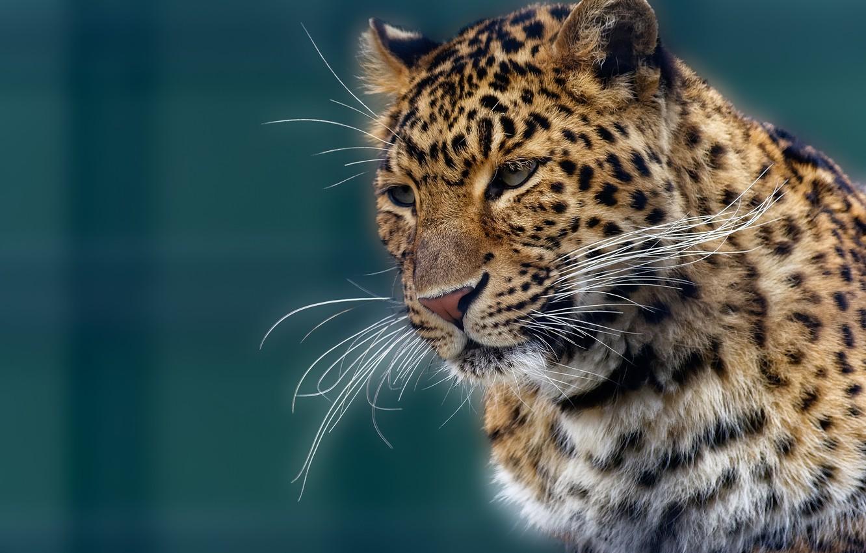 Фото обои усы, морда, портрет, леопард