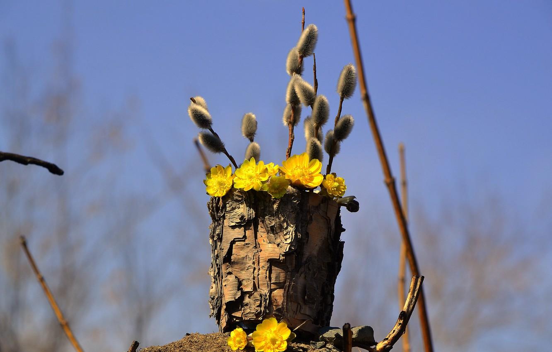 Фото обои небо, цветы, ветки, природа, весна, кора, верба, туесок